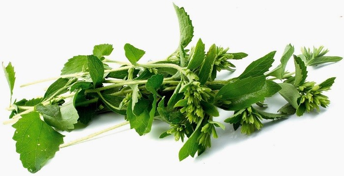 stevia-planta
