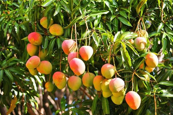 полезные свойства манго для организма