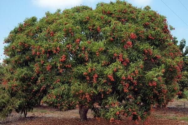 личи фрукт полезные свойства и вред фото