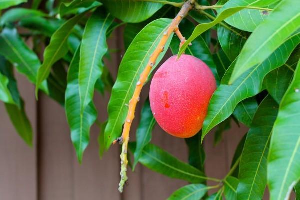польза манго для организма человека